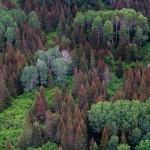 Budworm damaged fir trees